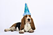 Basset puppy wearing a party hat