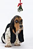 Basset hound puppy under the mistletoe