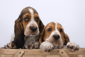 Pair of basset pups in a picnic basket