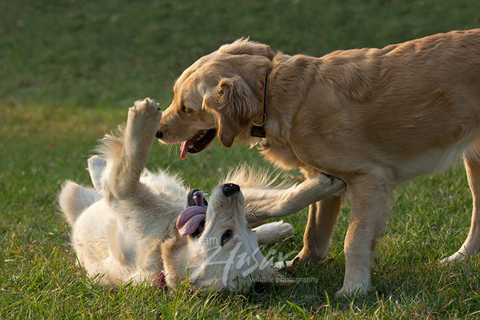 Playful young golden retrievers