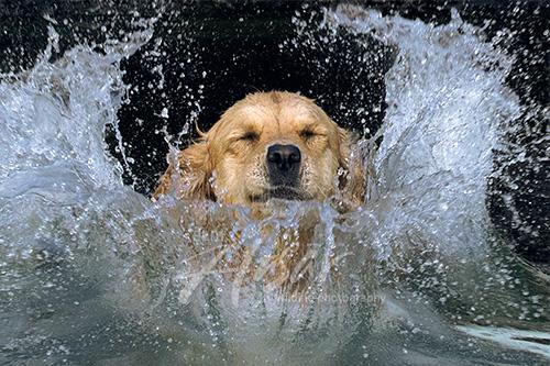 Golden retriever making a huge splash as she jumps in a lake Wisconsin