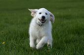 Golden retriever puppy running in grass