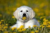 Golden retriever puppy eating a dandelion