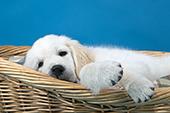 Golden retriever puppy sleeping in a wicker bed
