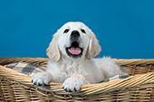 Golden retriever puppy in a wicker bed