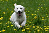 Golden retriever puppy running in a dandelion field