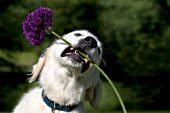 Golden retriever puppy playing with a purple flower