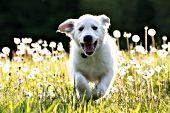 Golden puppy running in a field of dandelion puff balls