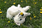 Golden retriever puppy eating a dandelion while on his back