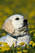 Golden retriever puppy in a field of dandelions