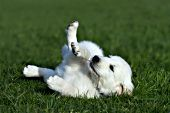 Golden retriever puppy rolling on his back with a stick