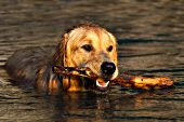 Golden retriever swimming with a stick at sunset