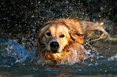 Golden retriever shaking water off himself while in a lake