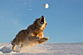Golden retriever jumping to catch a snowball in the air