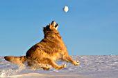 Golden retriever running to catch a snowball in the air