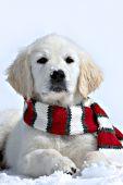 Cream golden retriever puppy wearing a festive scarf