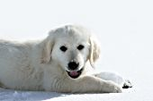 Cream golden retriever puppy playing with a snowball