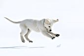 Cream golden retriever puppy pouncing on a snowball