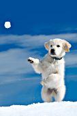 Cream golden retriever puppy standing up to catch a snowball