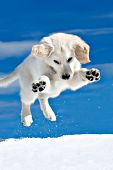 Cream golden retriever leaping to pounce on a snowball