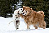 Golden retriever playing with a cream golden puppy