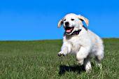 English cream golden puppy running in grass
