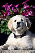 English cream golden puppy and petunias