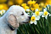 English cream golden puppy investigating a daffodil