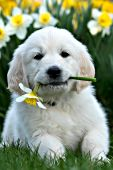 English cream golden puppy with a daffodil in his mouth
