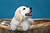 English cream golden puppy in a wicker dog bed