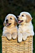 Pair of golden retriever puppies in a square basket