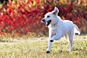 English cream golden retriever running in fall foliage