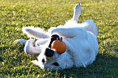 English cream golden retriever playing with a tiny pumpkin