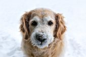 Golden retriever with her face covered in snow