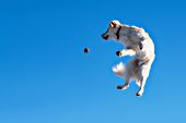 Cream golden retriever leaping in the air to catch a ball