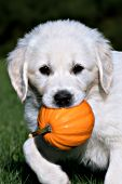 English cream puppy carrying a tiny pumpkin