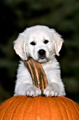 English cream puppy resting his paws on a pumpkin