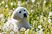 English cream puppy in a meadow of dandelions
