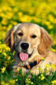 Golden retriever puppy in yellow flowers