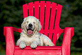 Yawning golden retriever puppy in a red chair