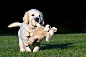 Golden retriever puppy carrying a plush puppy in its mouth