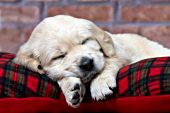 Golden retriever puppy sleeping on a plaid pillow
