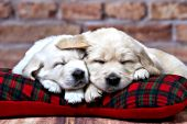 Two golden retriever puppies sleeping on a plaid pillow