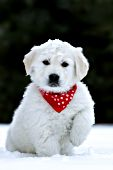 English cream golden retriever puppy in snow