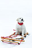 English cream golden puppy on a sled