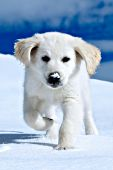 English cream golden puppy running in snow