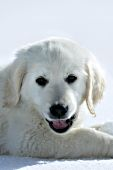 English cream golden retriever puppy playing in snow