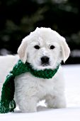 English cream golden retriever puppy wearing a green scarf