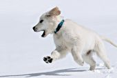 English cream golden retr. puppy playing in snow