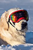 English cream golden retr. wearing goggles in snow